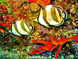 Pair of banded butterflyfish seen in Grand Bahamas.  Phot... by Bonnie Conley 